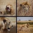 Löwen aus Tansania