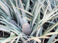 Ananas_pflanze