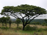 Burkea africana00