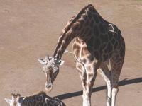 Giraffe im Zoo von Auckland