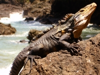 Iguana (Manual Antonio Nationalpark)