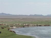 Khar-Nuur_lake,_Khovd_province,_Western_Mongolia_goats_drinking