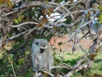 Kigelia africana with monkey-001