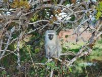 Kigelia africana with monkey-002