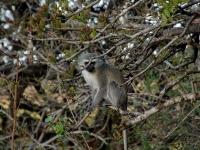 Kigelia africana with monkey-003