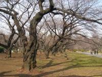 Koishikawa Botanical Gardens, Tokyo - trees in winter