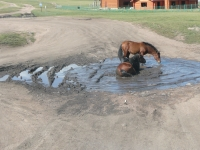 Mongolian_horse_01