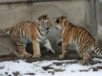 Panthera tigris altaica 02 - Buffalo Zoo