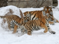 Panthera tigris altaica 03 - Buffalo Zoo