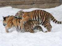 Panthera tigris altaica 05 - Buffalo Zoo