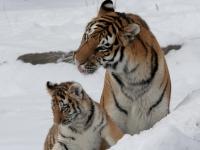 Panthera tigris altaica 11 - Buffalo Zoo