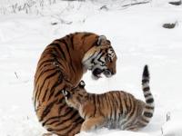 Panthera tigris altaica 12 - Buffalo Zoo
