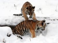 Panthera tigris altaica 15 - Buffalo Zoo