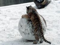 Panthera tigris altaica 19 - Buffalo Zoo