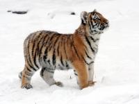 Panthera tigris altaica 22 - Buffalo Zoo