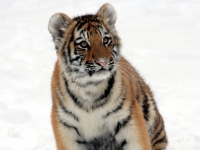 Panthera tigris altaica 23 - Buffalo Zoo
