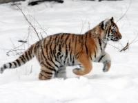 Panthera tigris altaica 24 - Buffalo Zoo
