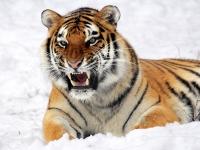 Panthera_tigris_altaica_28_-_Buffalo_Zoo