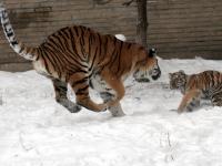 Panthera_tigris_altaica_29_-_Buffalo_Zoo
