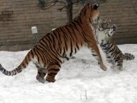 Panthera_tigris_altaica_30_-_Buffalo_Zoo