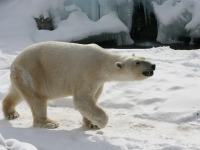 Polar_Bear_-_Buffalo_Zoo