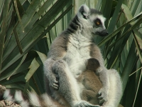 Ringtailed lemur 29 - Bioparc- Valencia, Spain