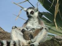 Ringtailed lemur 35 - Bioparc- Valencia, Spain