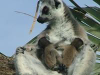 Ringtailed lemur 39 - Bioparc- Valencia, Spain