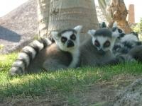 Ringtailed lemur 3 - Bioparc- Valencia, Spain