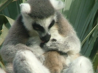 Ringtailed_lemur_40_-_Bioparc-_Valencia,_Spain