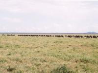 Serengeti, Tanzania: Tierwanderung