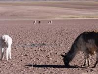 Lamas in der Atacama Wüste