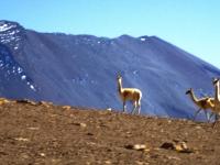 Vicuñas vor dem Vulkan Juriques