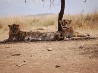 Löwen-Romanze