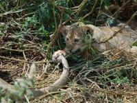 Kleiner Löwe: SIMBA