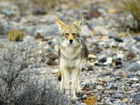 Coyote (Canis latrans) in Death Valley, California