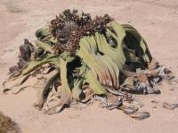 Welwitschia Namibiana