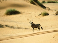 Oryx Gazelle in der Namib-Wüste, Namibia
