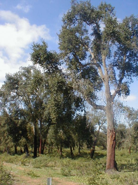 Maamora Wald, nahe Rabat, Marokko