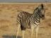 Zebra im Etosha National Park, Namibia.