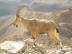 Nubian Ibex in Negev