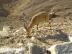 Nubian Ibex in Negev 4