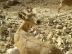 Nubian Ibex in Negev 5