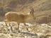 Nubian Ibex in Negev 7