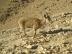Nubian Ibex in Negev 8