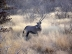 Oryx, Etosha-Natinalpark, Namibia