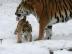 Panthera tigris altaica 07 - Buffalo Zoo