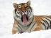 Panthera_tigris_altaica_27_-_Buffalo_Zoo