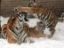 Panthera_tigris_altaica_31_-_Buffalo_Zoo