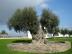 olive_tree